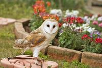 メンフクロウのみりんちゃん~お庭にて♪~ - メンフクロウと一緒~ミリン~