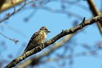 コゲラのドラミング - 武蔵野の野鳥