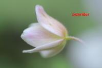 上品な色(ニリンソウ) - ジージーライダーの自然彩彩