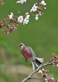 桜にベニマシコ♂ - 今日も鳥撮り