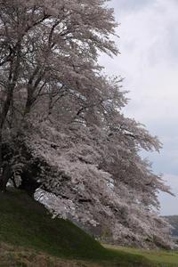 花吹雪桜の小径  - 風の彩り-2