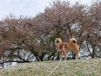桜とabby8、桜とzack9 - abby & zack