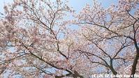 2017/04/16 桜を愛でる - 太鼓持の「続・呑めばのむほど日記」
