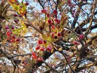 2017年 ミラベル庭園の桜! - ザルツブログ ザルツブルク在住者による、グルメ・文化・旅行の贅沢写真日記