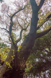 日和田山の大山桜 - デジカメ写真集