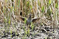 警戒心の強いクイナの羽ばたき - 私の鳥撮り散歩