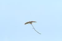 ツミ雌 大きな枝を持って - 気まぐれ野鳥写真