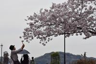 ヴェルニー公園の桜 7 - 素顔のままで