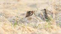 オオジシギ - 北の野鳥たち
