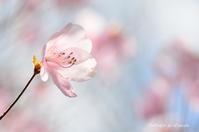 桜色のつつじ - 今日の小さなシアワセ