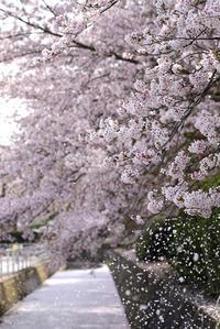 散る桜  - みなかわ写瞬間