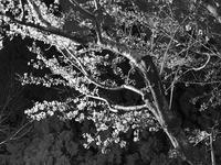monotone cherry blossom - My favorite corner