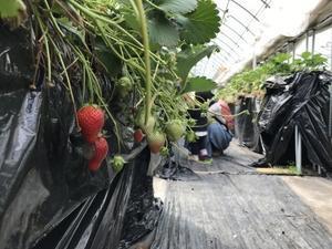 関市でもう一つのいちご狩り。ohana農園。 - 関ジャーナル-関市のディープな情報とまちづくりのこと-