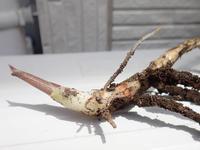 脱走したミョウガの新芽を食べてみた話 - 写真音痴の観撮日記