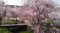 枝垂れ桜 20170416 - わたらせ