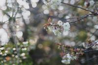 蓮華寺池公園の桜満開(ソメイヨシノ・ウコンサクラ・里桜のミックスジュース) - 蓮華寺池の隣5