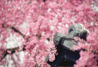 桜のフラワーレイにご満悦な駄菓子屋の屋根瓦 - Film&Gasoline