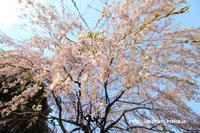 《花》 市民の森の枝垂桜 - 100-400ISの部屋