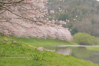 Sakura*Diary2017⑥**水辺に顔寄せて - きまぐれ*風音・・kanon・・