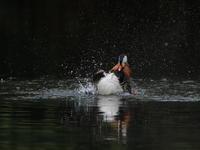オシドリ - 『彩の国ピンボケ野鳥写真館』