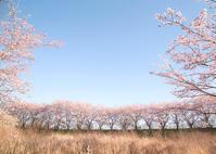 近所の桜3 - My Palpitation