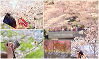圧倒的桜2017 - 陽だまりベンチ+me