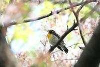 キビタキ・オオアカハラ @桜 - でっかん散歩
