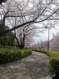 桜見物と見沼通船堀の閘門式運河 - 活花生活(2)