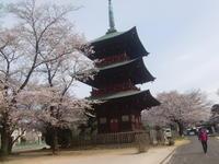 桜見物・埼玉県安行の三重塔と桜の風景 - 活花生活(2)