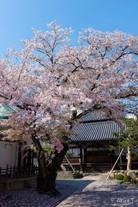 京都の桜 2017 〜本隆寺〜 - ◆Akira's Candid Photography
