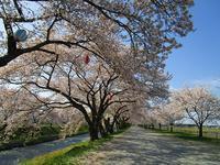山と桜とチューリップ - ごまめのつぶやき