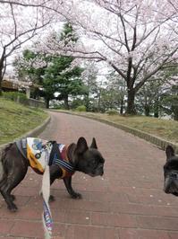 お花見散歩2017(6) - やんちゃなまいにち