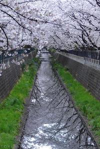 麻生川の桜 + ピックアップリード線交換 #1/3 - T O K I B A K O