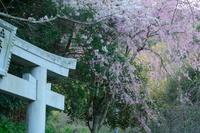 桜~2017~⑥ - Lupix's eys