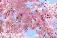 徳山の桜・3♪ ~桜シャワーとマクロ編~ - happy-cafe*vol.2