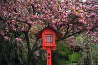 妙見宮の八重桜 - ライカとボクと、時々、ニコン。