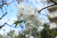白妙桜☆八重の桜 - Let's Enjoy Everyday!