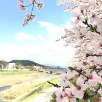 #582〜賀茂川沿いの桜〜 - カメラを相棒に