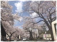 桜満開の中… - are-ya kore-ya