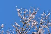 今年の桜 その1 浜松 - じいじとばあばのフォトライフ
