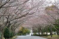 今年の桜 その2 沼津 - じいじとばあばのフォトライフ