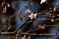 今年の桜 その3(終) 箱根&裾野 - じいじとばあばのフォトライフ