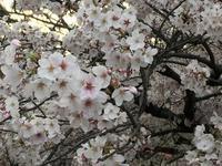 中目黒の桜ー覚え帖ー - 色、いろいろ