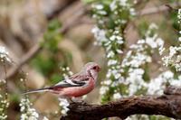 雪柳と紅いベニマシコ - T/Hの野鳥写真-Ⅱ