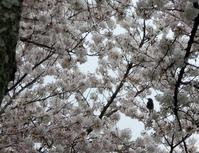 路傍の花、樹々の鳥(155) ~ 観桜ご近所ウォーキング ~ - 大屋地爵士のJAZZYな生活
