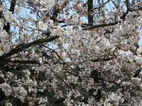 信州・須坂の桜も見頃です - 信州ピース&ナチュラルだより