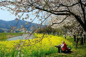 桜・菜の花(上堰潟) - くろちゃんの写真