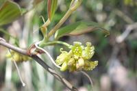 ■ 雌雄異株植物 3種   17.4.17   (サルトリイバラ、アオキ、ハナイカダ) - 舞岡公園の自然2