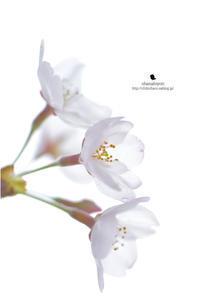 桜前線 - お花びより