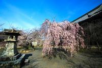 桜2017! ~立本寺~ - Prado Photography!